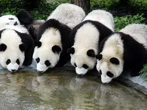 Giant Panda Breeding Base Chengdu