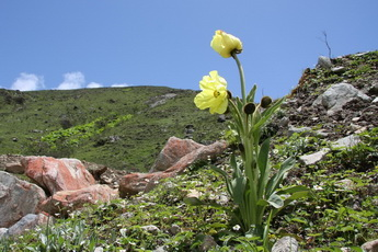 Meconopsis,NW Sichuan