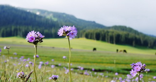 Wild Flowers,West Xinjiang
