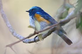 Himalayan Red-flanked Bluetail,Birding Sichuan