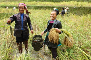 Miao People farming at the Paddy Rice Fields,Guizhou