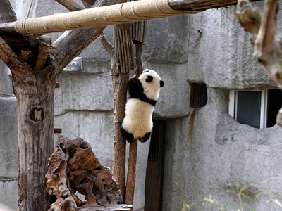 Giant Panda at Chengdu Breeding Base,China