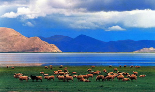 Sheep herds at Yamdrok Lake in Central Tibet