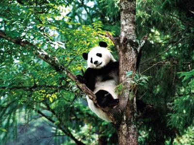 Giant Panda Ya'an,Sichuan,China