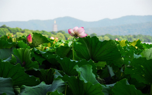 Lotus,West Lake,Hangzhou,China
