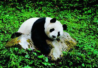 Heishuihe Giant Panda Nature Reserve, one of the 'top 10 panda habitats in China' by China.org.cn.