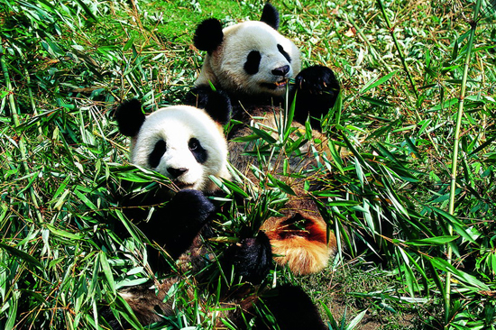 Wanglang National Nature Reserve, one of the 'top 10 panda habitats in China' by China.org.cn.