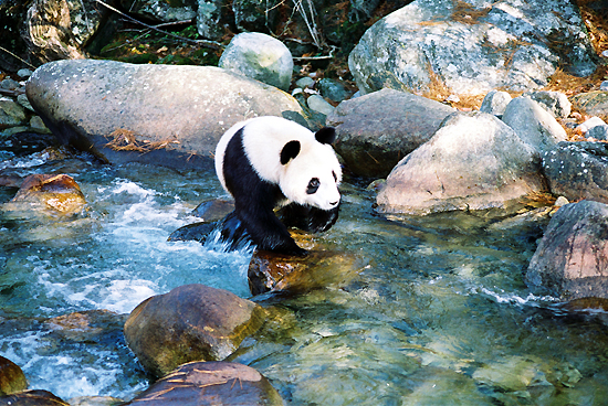 Shaanxi Foping Nature Reserve, one of the 'top 10 panda habitats in China' by China.org.cn.