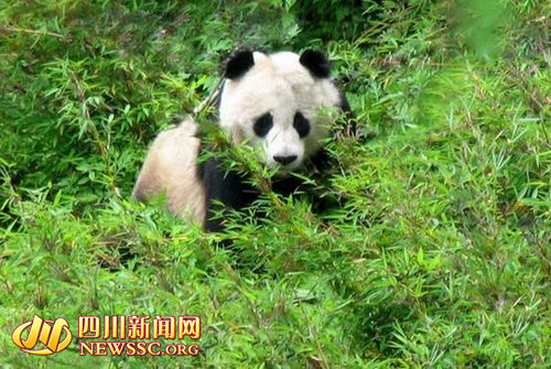 Tangjiahe Nature Reserve, one of the 'top 10 panda habitats in China' by China.org.cn.