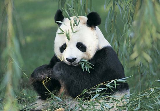 Gansu Baishuijiang National Nature Reserve, one of the 'top 10 panda habitats in China' by China.org.cn.