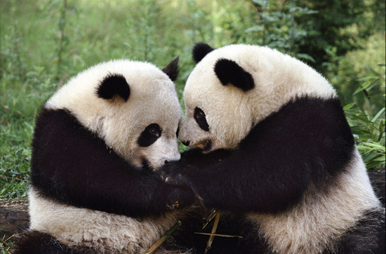 Sichuan Wolong National Nature Reserve, one of the 'top 10 panda habitats in China' by China.org.cn.