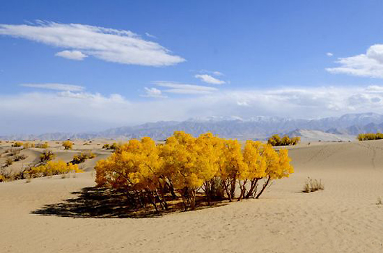 Golmud Diversifolious Poplar Forest, one of the 'top 10 attractions in Qinghai, China' by China.org.cn.