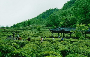 Mount.Mengding Tea Plantation,Sichuan,China