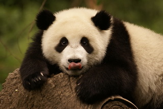 Best of China with Pandas